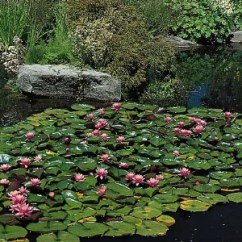 Lotus In Water Plant Diagram Honeywell Thermostat Wiring Manual Lily Family Britannica Com
