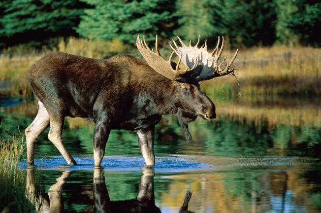moose | Habitat, Size, Weight, Diet, & Facts | Britannica