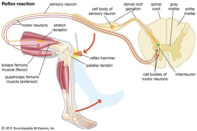 Knee-jerk reflex | medical test | Britannica.com