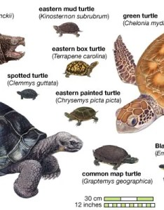 also turtle species classification  facts britannica rh