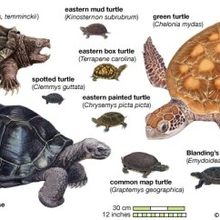 Diagram Turtle S Head Light Bar Wiring 5 Pin Relay Species Classification Facts Britannica Com