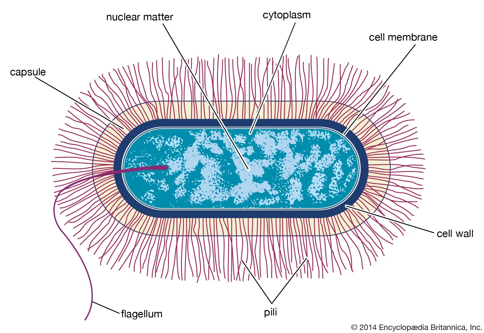 32 Label The Bacterial Cell