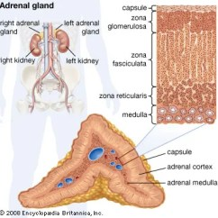 Frog Inside Diagram Club Car Wiring Gas Adrenal Gland | Definition, Anatomy, & Function Britannica.com