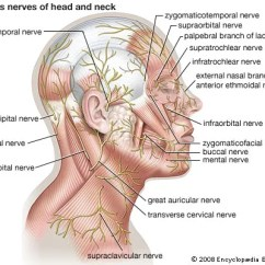 Right Lateral Brain Diagram 2000 Toyota Celica Gt Stereo Wiring Cutaneous Nerve: Nerves Of Head And Neck - Students | Britannica Kids Homework Help