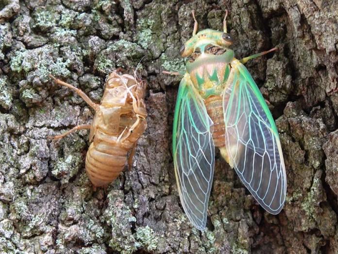 Why are cicadas so noisy?   Britannica
