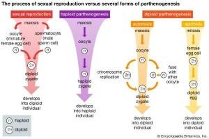 Haploid parthenogenesis | biology | Britannica