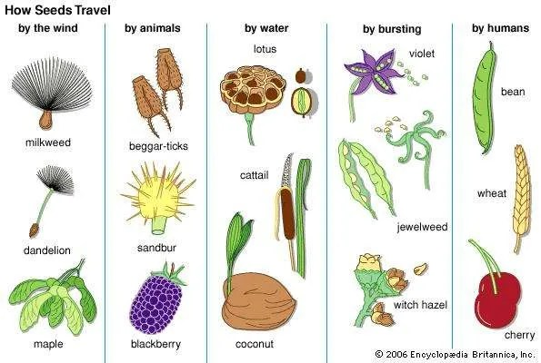 Parts Of A Bean Seed Diagram