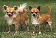 chihuahua breed of dog