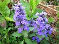 Carpet bugleweed | plant | Britannica.com