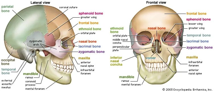 inside skull diagram oxygen sensor wiring of diagrams definition anatomy function britannica com rh brain human