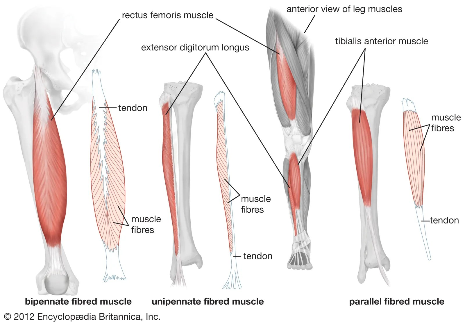 Upper Leg Muscle Diagram