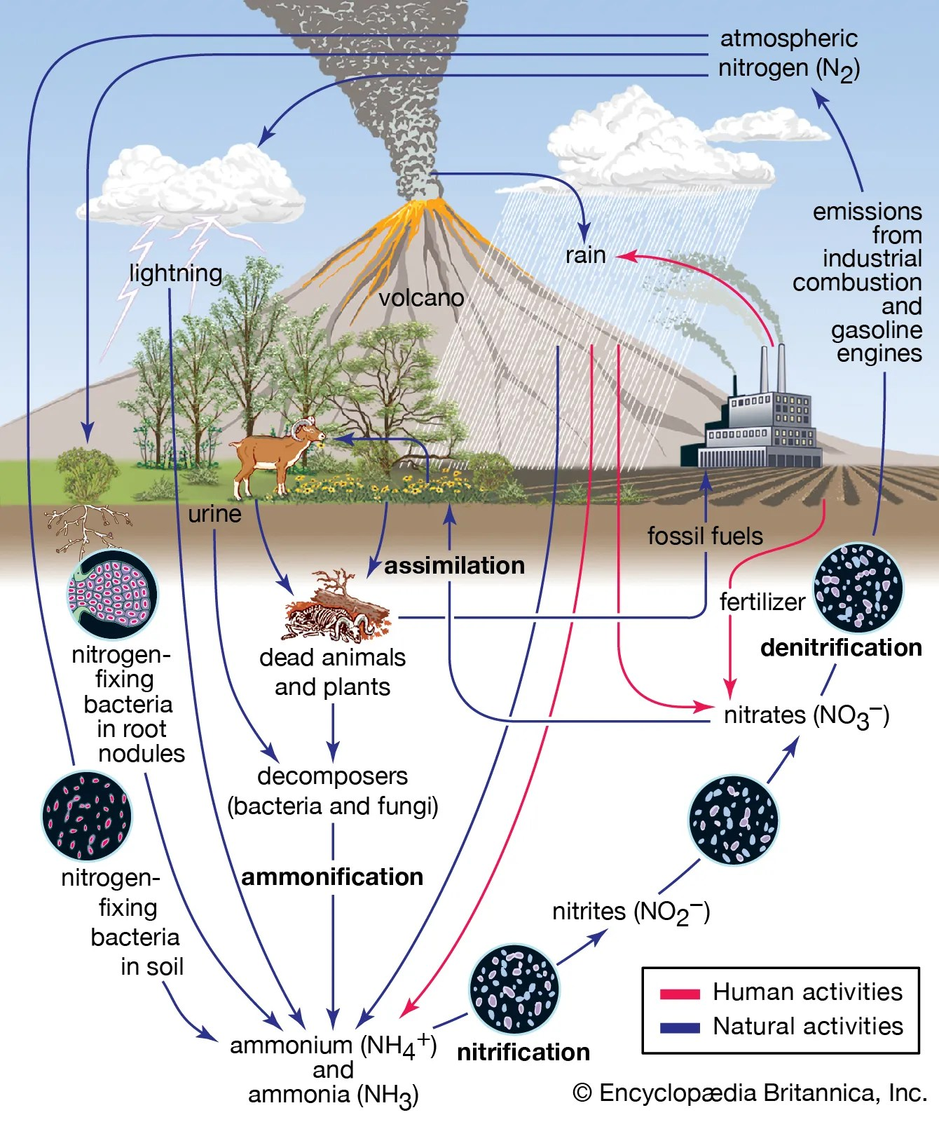 Nutrient Cycle Worksheet Answers