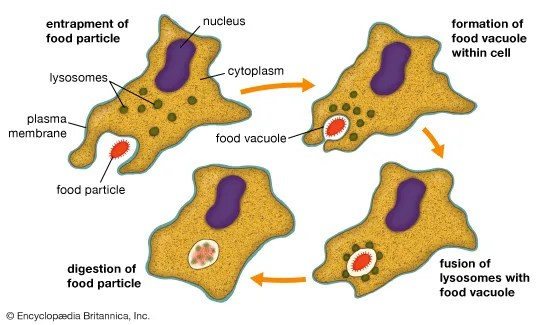 animal cell membrane diagram labeled 2002 ford f250 stereo wiring phagocytosis   definition, process, & examples britannica.com