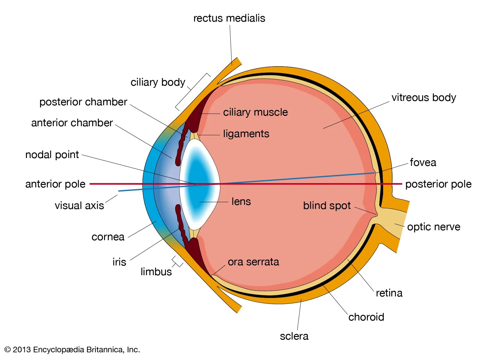 Human Eye Definition Structure Amp Function