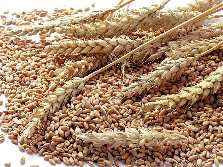 Corn Grains and Wheat Quiz | Britannica.com