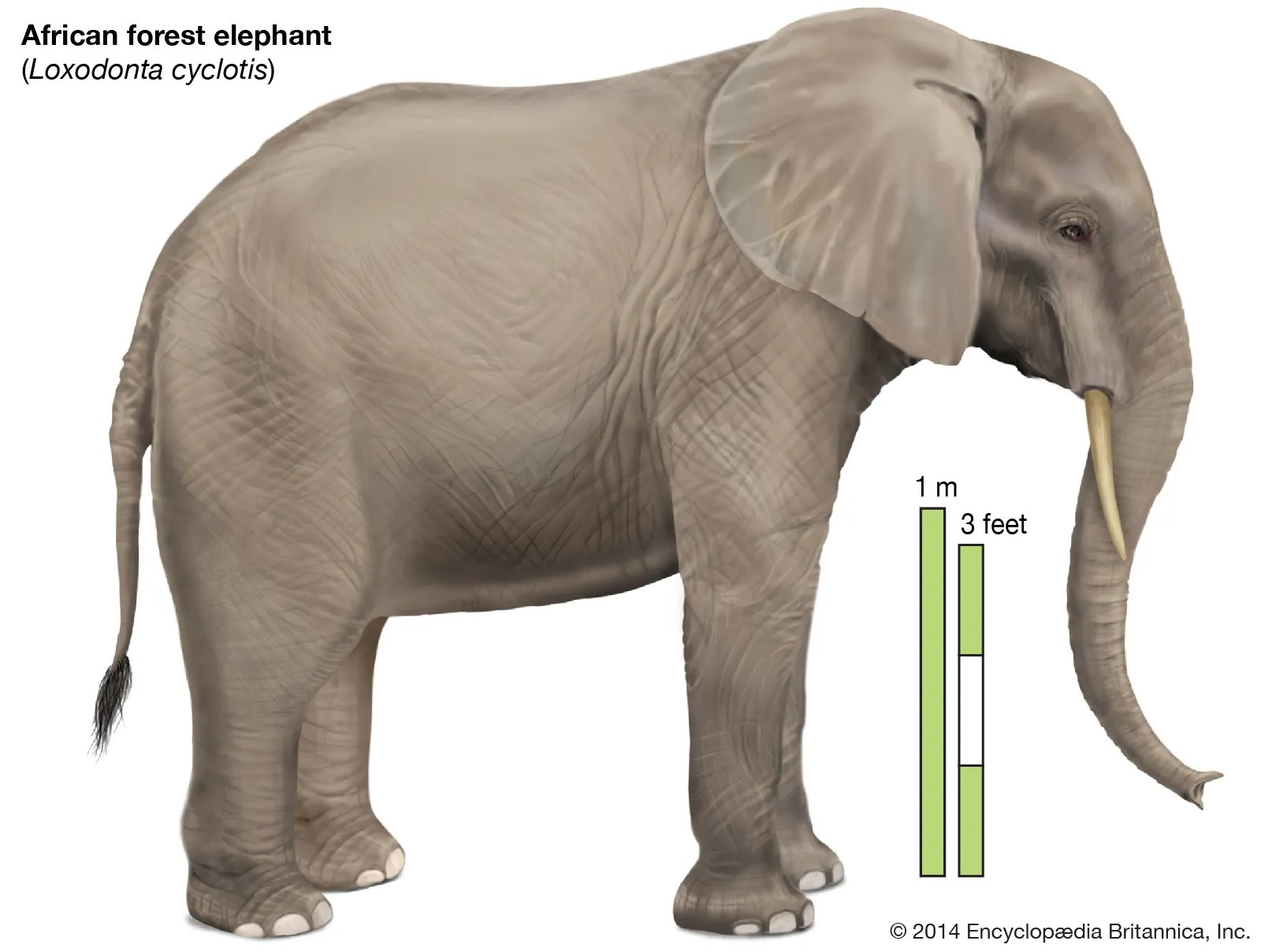 All elephants are endangered, with african forest elephants listed as critically endangered. African Forest Elephant Mammal Britannica