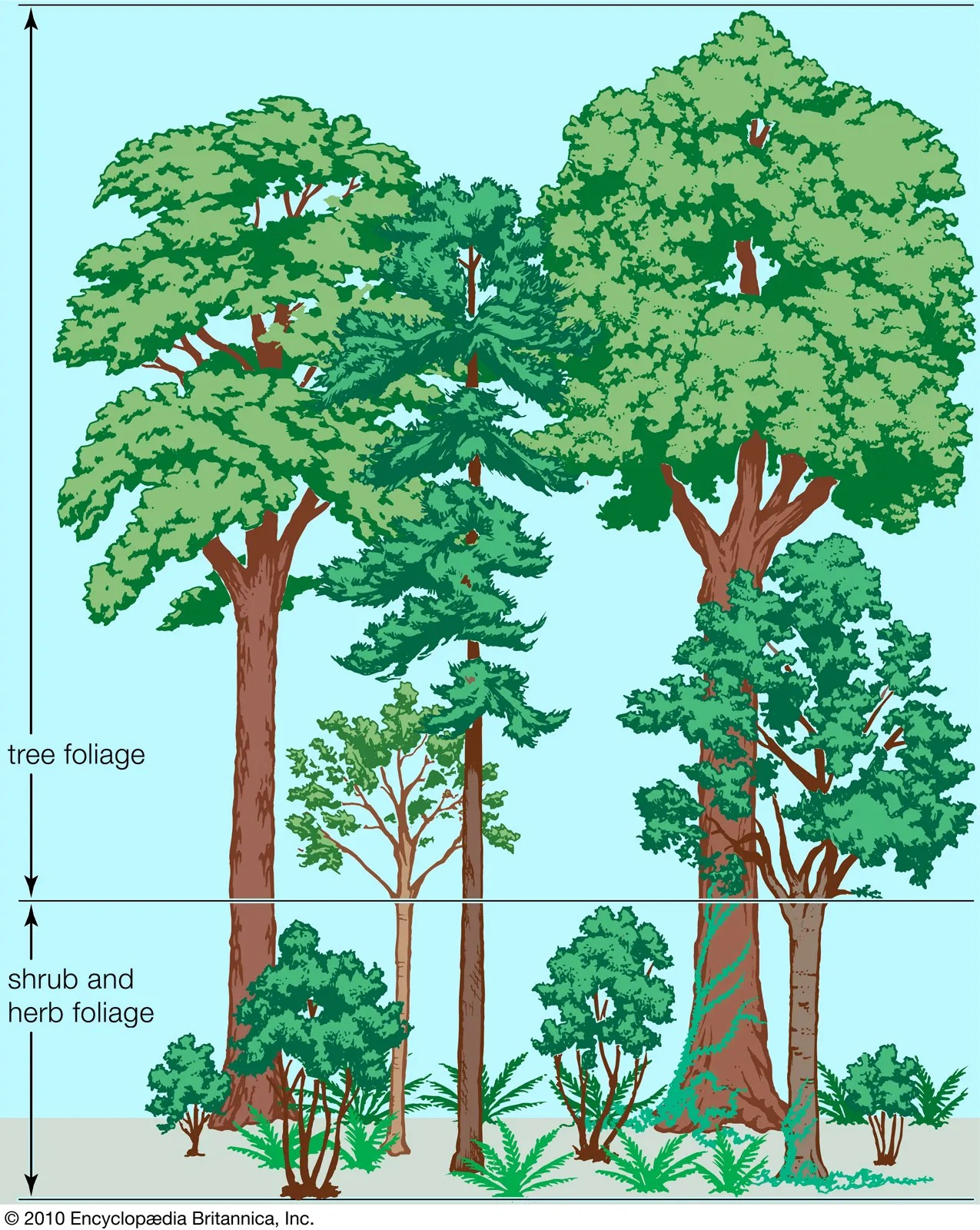 Together we will beat cancer Temperate Forest Population And Community Development And Structure Britannica