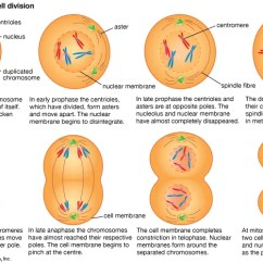 Stages Of Meiosis Diagram Labeled 1994 Ford F150 Radio Wiring Mitosis - Students | Britannica Kids Homework Help