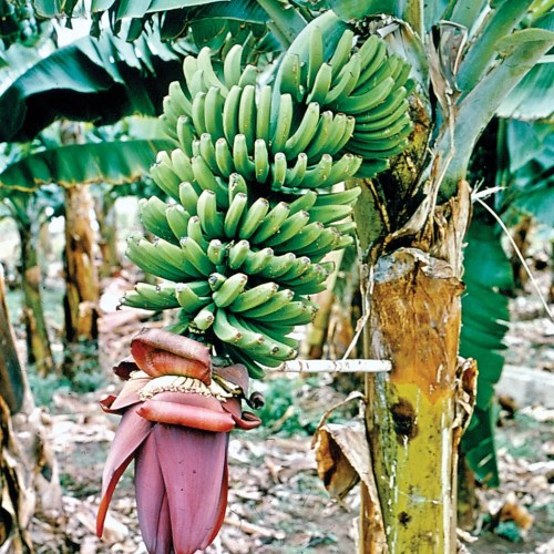 banana | Description, History, Cultivation, Nutrition, Benefits, & Facts |  Britannica