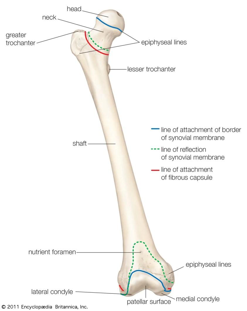 femur   Definition, Function, Diagram, & Facts   Britannica