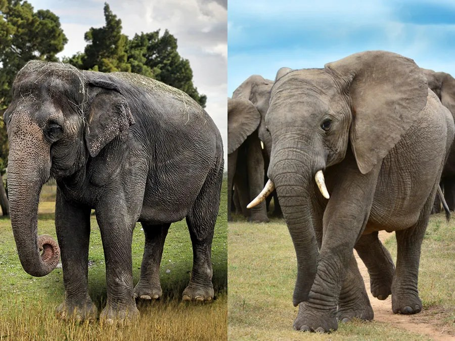 What S The Difference Between Asian And African Elephants Britannica