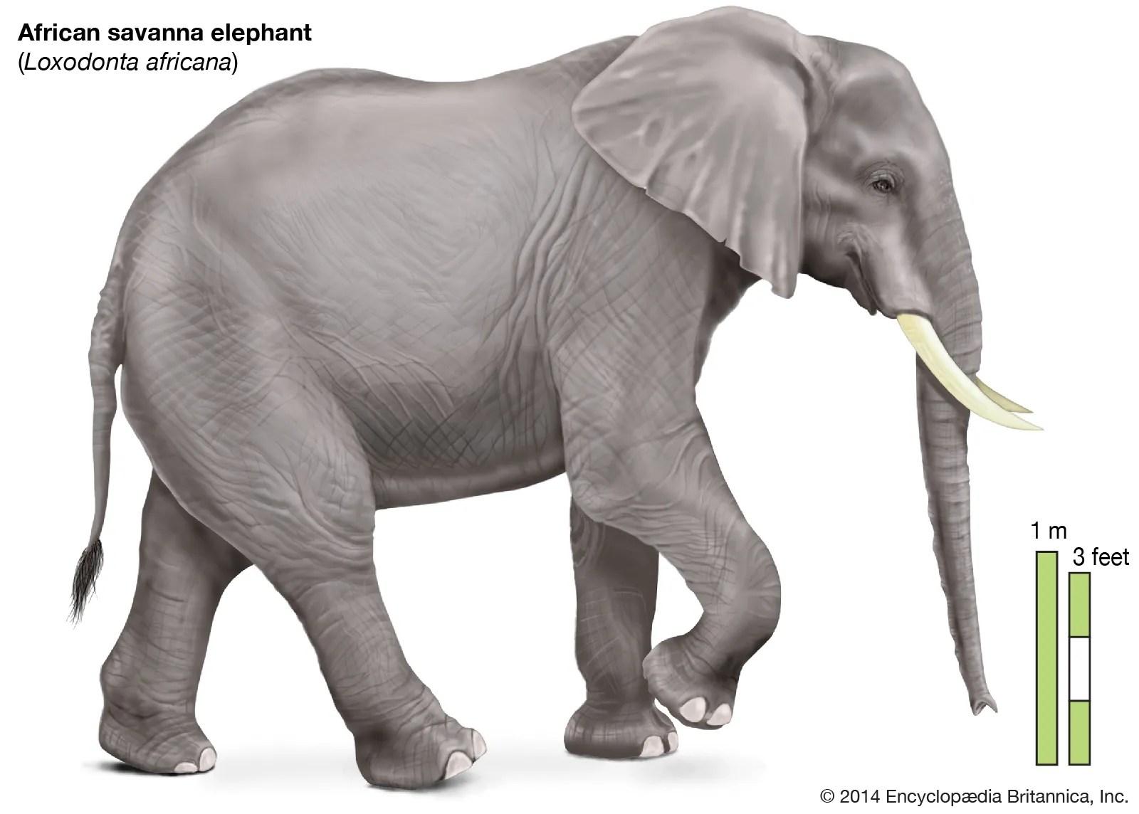 Elephant Description Habitat Scientific Names Weight Facts Britannica