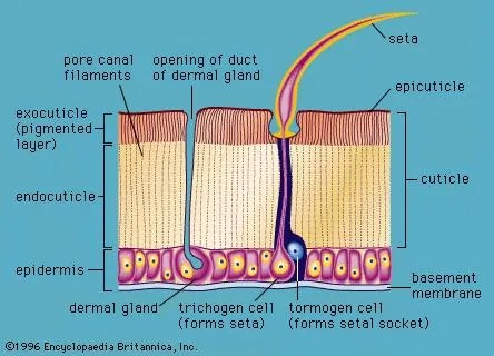 diagram of a section cell membrane lutron 3 way dimmer wiring arthropod - form and function | britannica.com
