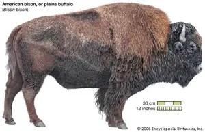 bison facts britannica com