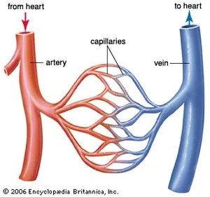 human vascular anatomy diagram wall phone jack wiring blood vessel britannica com