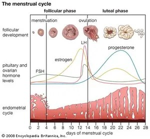 menstrual cycle diagram with ovulation of water in a hypertonic solution menstruation britannica com