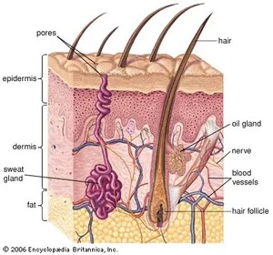 dermis layer diagram parts of the sun human skin anatomy britannica com