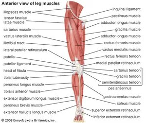 front leg ligament diagram 1999 mercury cougar wiring quadriceps femoris muscle anatomy britannica com anterior view of the muscles human