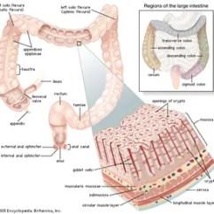 Horse Gi Diagram 93 Ford Ranger Radio Wiring Cecum Anatomy Britannica Com Large Intestine