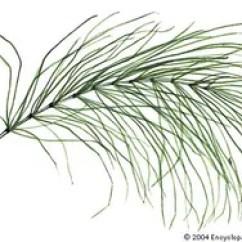 Horsetail Plant Diagram Label Brain Worksheet Genus Britannica Com Common Equisetum Arvense
