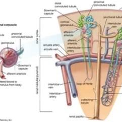 Kidney Nephron Structure Diagram Fpv Transmitter Wiring Anatomy Britannica Com