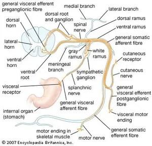 lumbar nerve root diagram 1999 honda civic fuse spinal anatomy britannica com