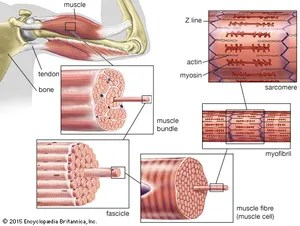 human muscle cell diagram labeled pin curl skeletal definition function britannica com