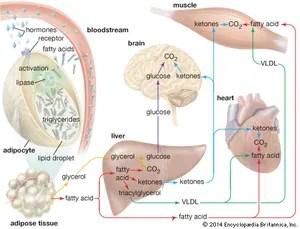 white fat cell diagram 1998 honda civic ignition wiring adipose biology britannica com