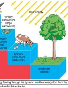 Figure transfer of energy through an ecosystem at each trophic level only  also pyramid definition  examples britannica rh