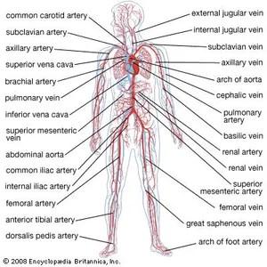 octopus water vascular system diagram 1995 chevy s10 headlight wiring circulatory anatomy britannica com