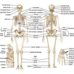 Human Skull Bones Diagram Labeled Mk2 Fiat Punto Wiring Skeletal System Parts Functions Facts