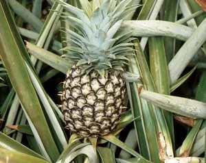 pineapple description history facts