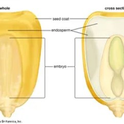 Bean Seedling Diagram Minn Kota Plug Wiring Endosperm | Definition, Description, & Importance Britannica.com