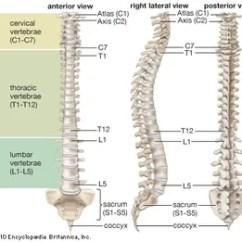 Cervical Vertebrae Diagram John Deere 317 Lawn Tractor Wiring Vertebral Column Anatomy Britannica Com Human