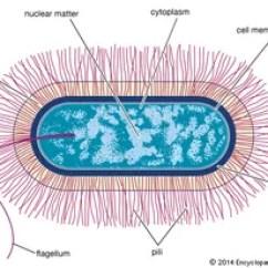 Bacteria Structure Diagram Toyota 4runner Wiring Radio Bacilli Of Cell Great Installation Bacillus Britannica Com Rh Membrane Ribosome