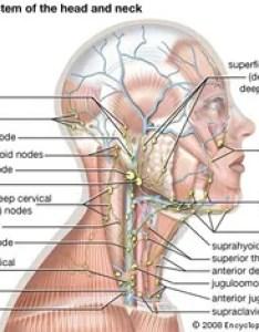 Lymph node also anatomy britannica rh