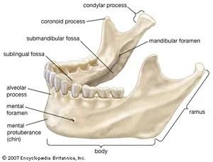 human mandible diagram xfinity network jaw anatomy britannica com the lower jawbone