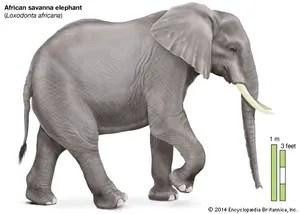 african elephant food chain diagram of sciatic nerve leg description habitat scientific names weight facts