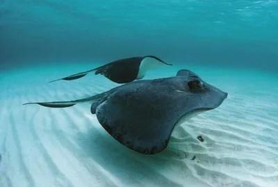 ray and skate diagram rotork wiring 6000 fish britannica com southern stingrays dasyatis americana chondrichthyan skates rays