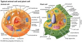 endoplasmic reticulum animal cell diagram bobcat 843 parts definition function location eukaryotic cells contain membrane bound organelles including a clearly defined nucleus mitochondria